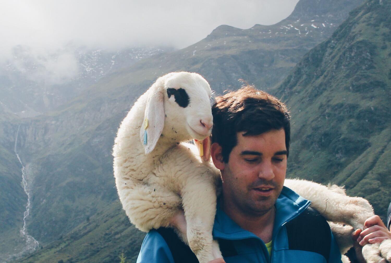 Lamm beim Schafabtrieb Nassfeld in Sportgastein