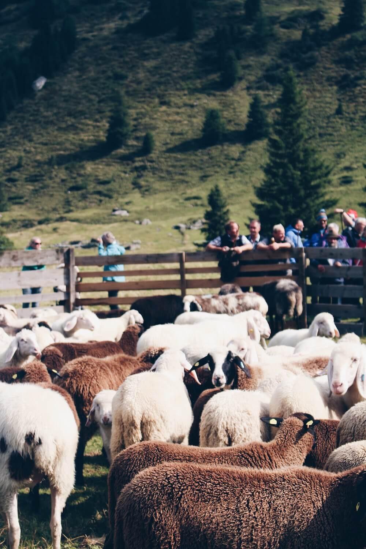 Sammeln der Schafe zum Schafabtrieb.