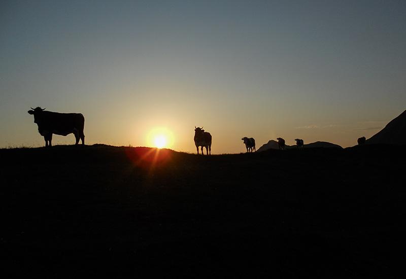 Sonnenuntergang Kühe Gastein