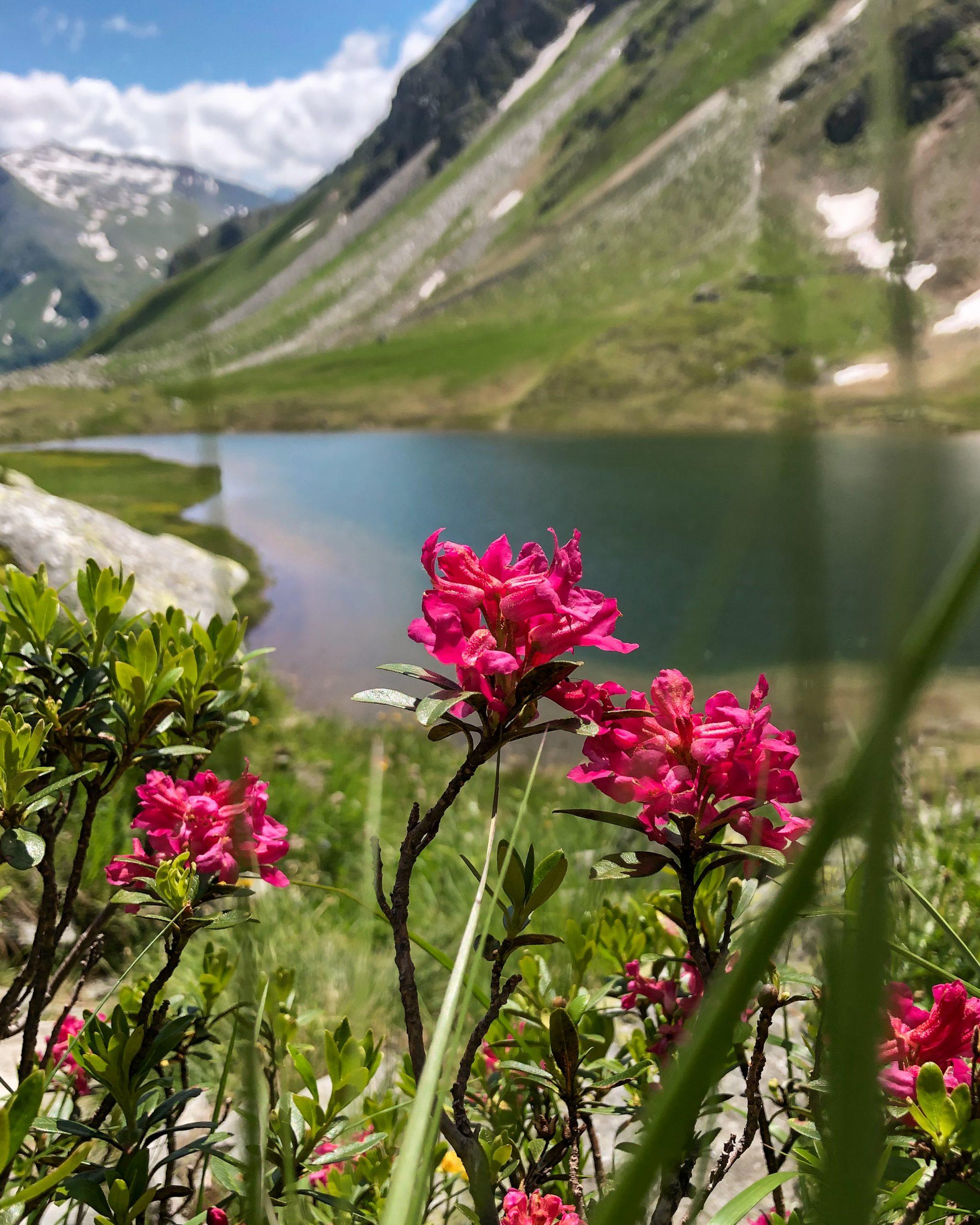 Almrausch beim Oberen Bockhartsee